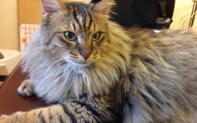 Harley The Delmum Cat